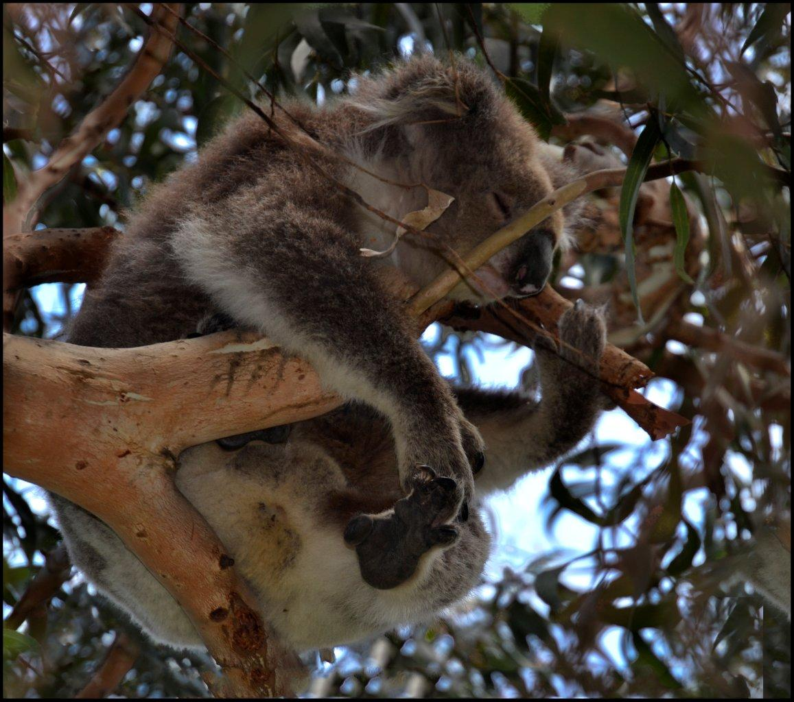 Koala at Kennett River