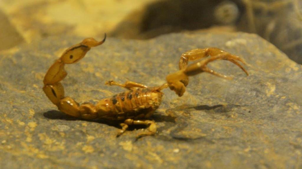 Live Scorpion