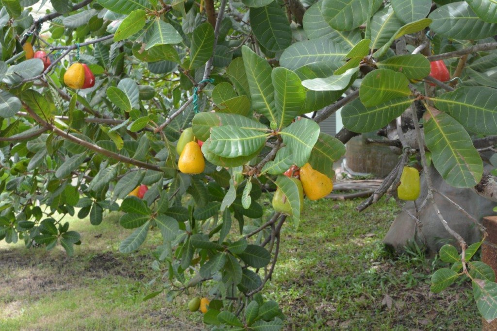 Cashew Tree & Fruit
