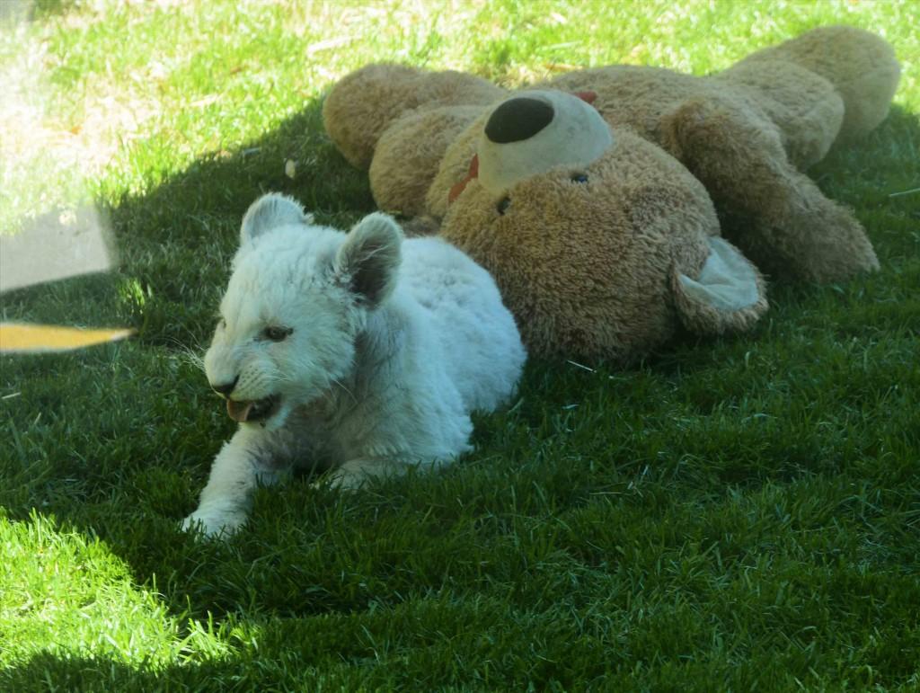 White Lion Cub at ZooDoo Tasmania