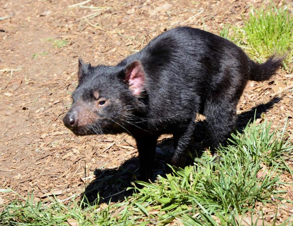 Tasmanian Devil ZooDoo Tasmania