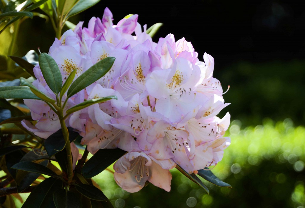 Lovely Pink Rhododendron