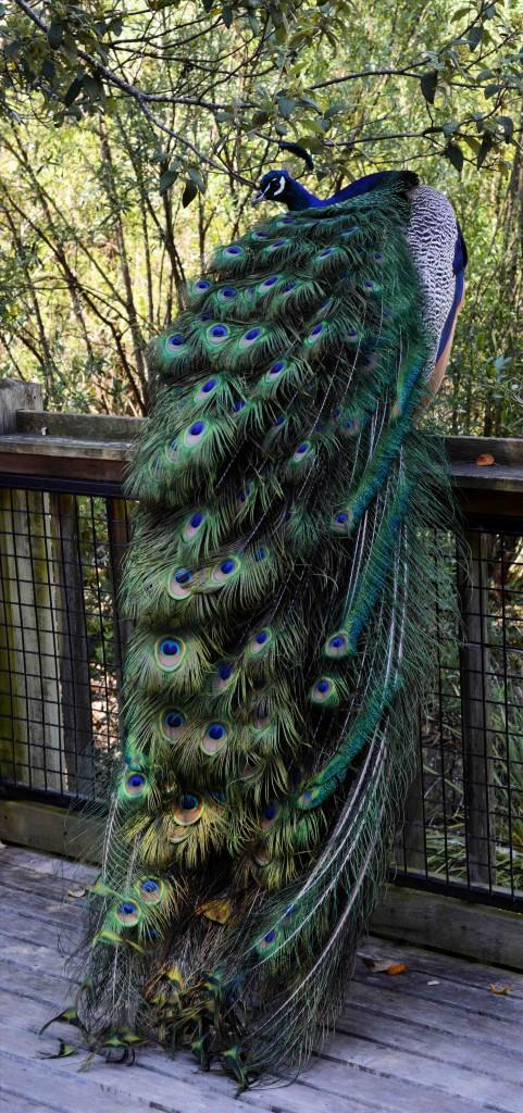 Peacock at Cataract Gorge, Launceston