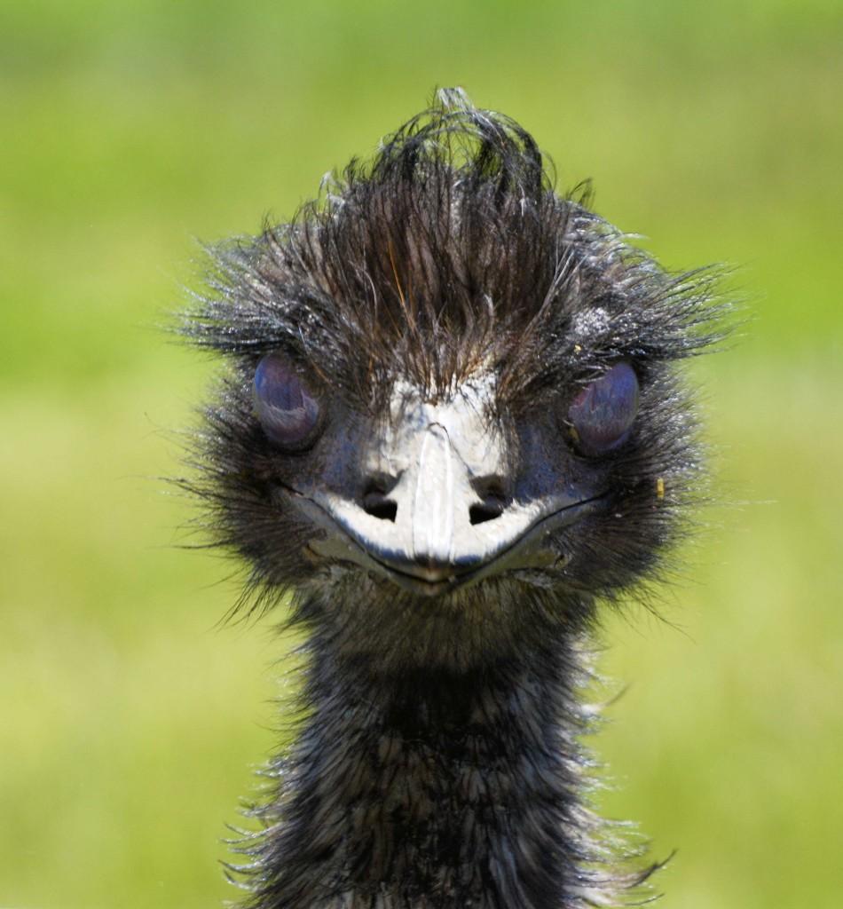 Emu ZooDoo Tasmania