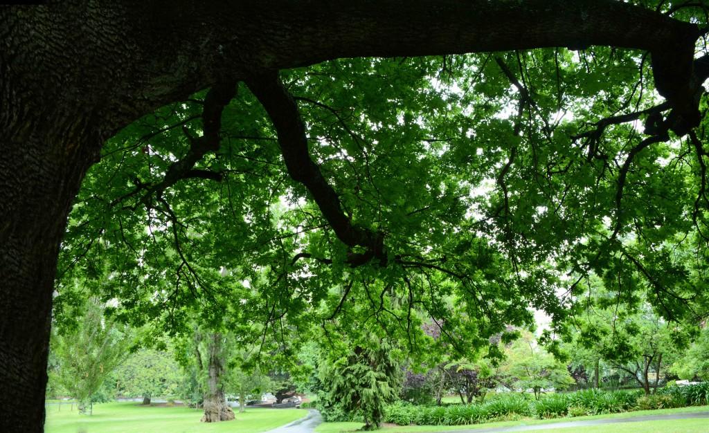 Oak Tree, , City Park Hobart