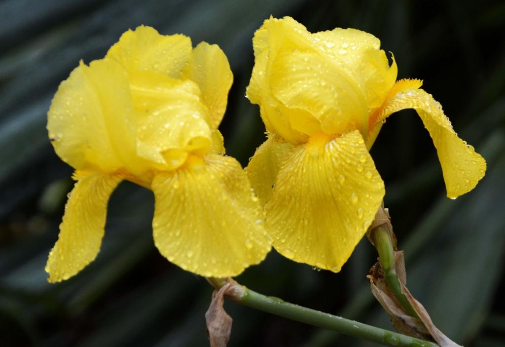 Yellow Iris, City Park Hobart