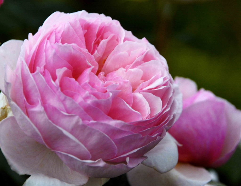 Peony, Woolmers Estate
