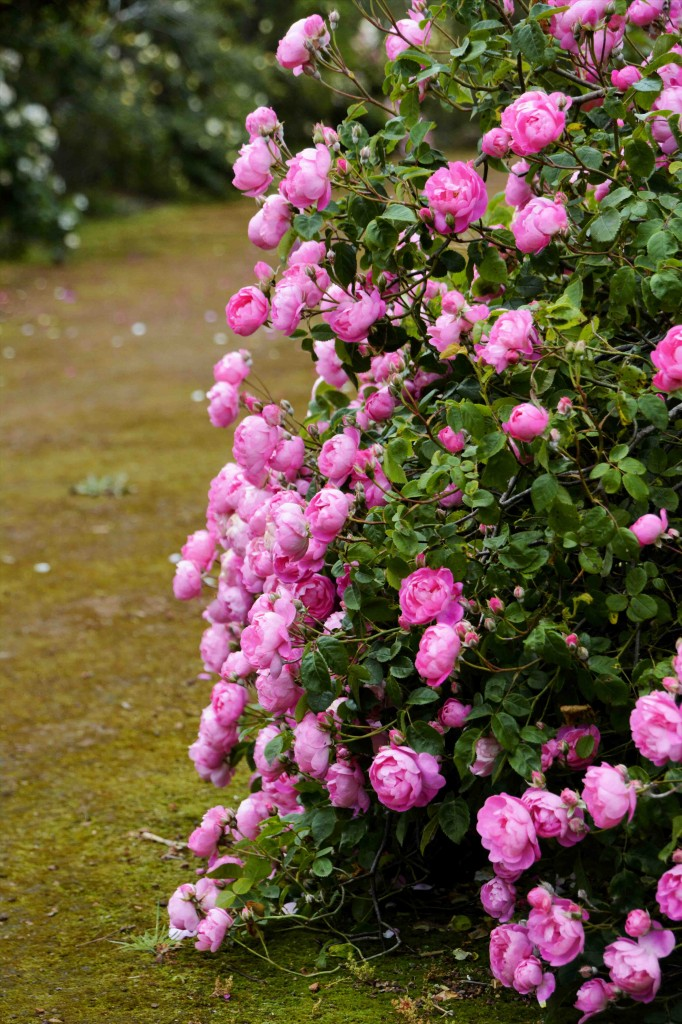 National Rose Garden, Woolmers Estate