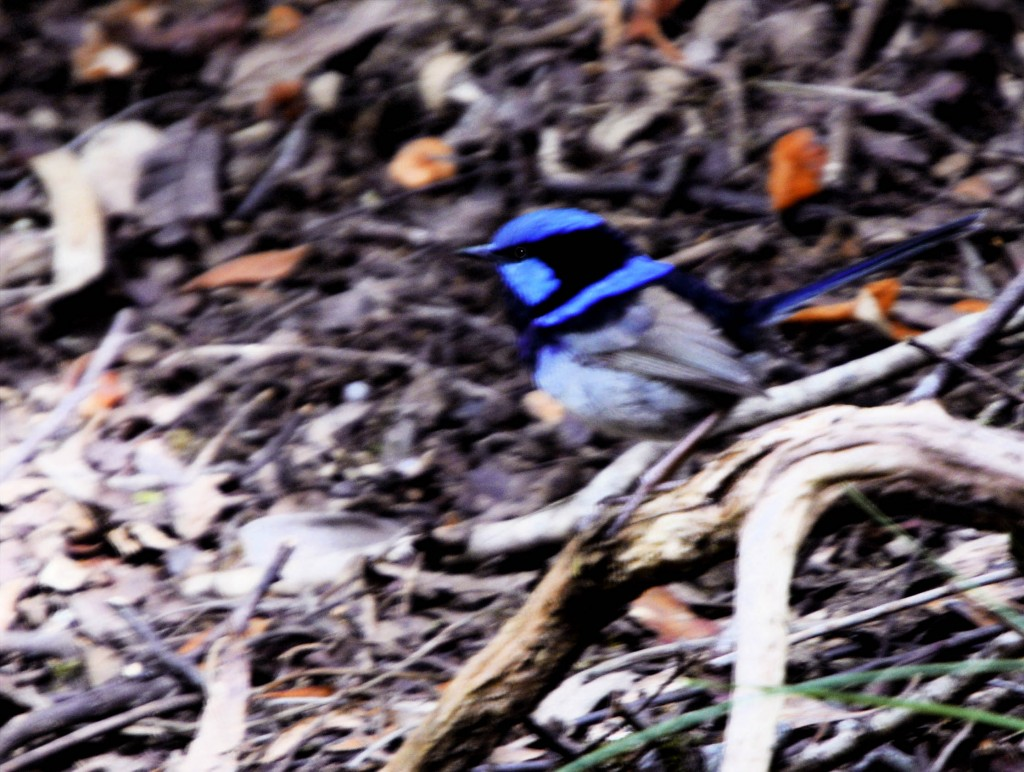 Blue Wren, Cataract Gorge, Launceston, Tasmania