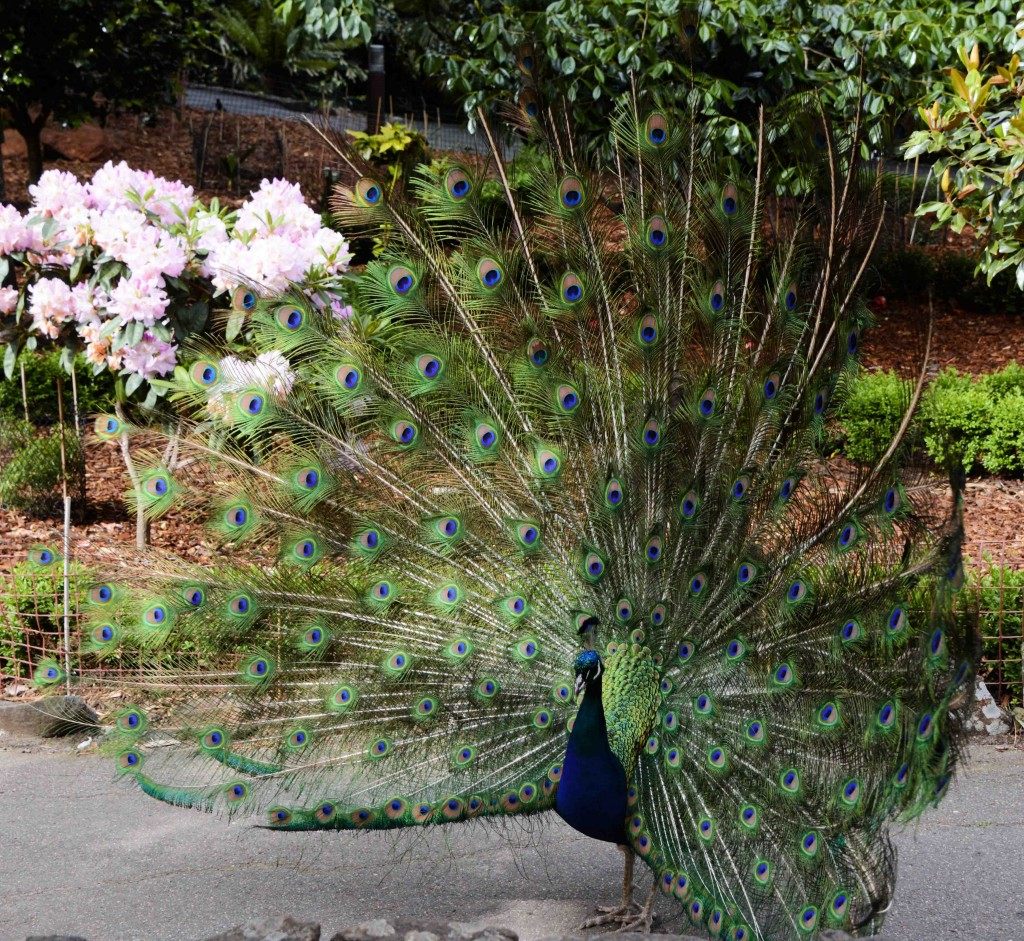 Peacock, Cataract Gorge, Launceston, Tasmania