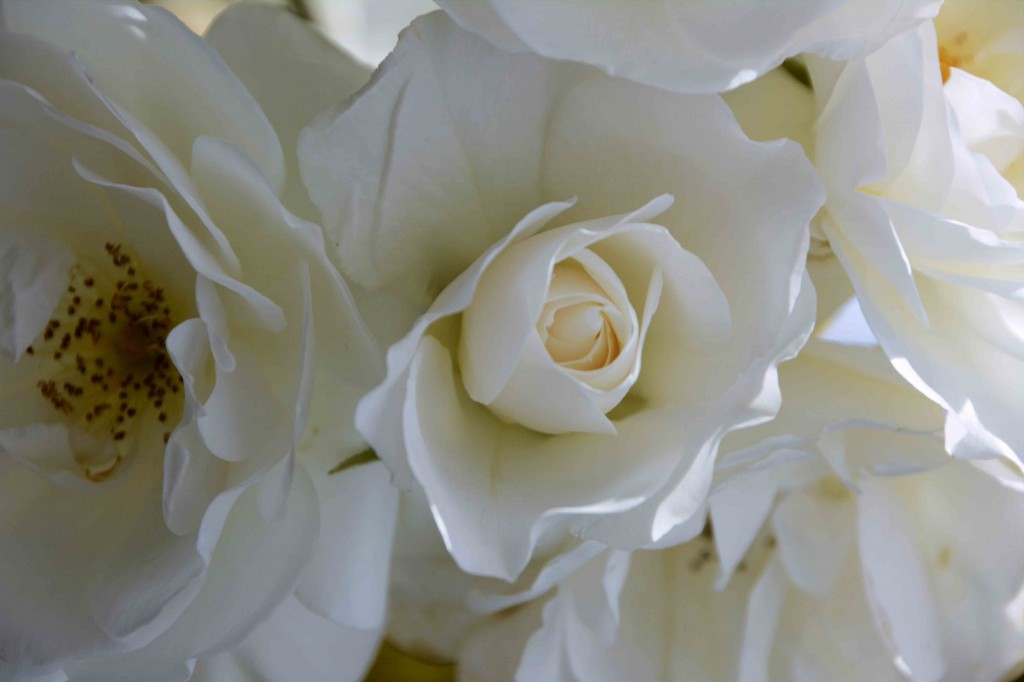 White Roses, Alice's Cottages, Launceston, Tasmania