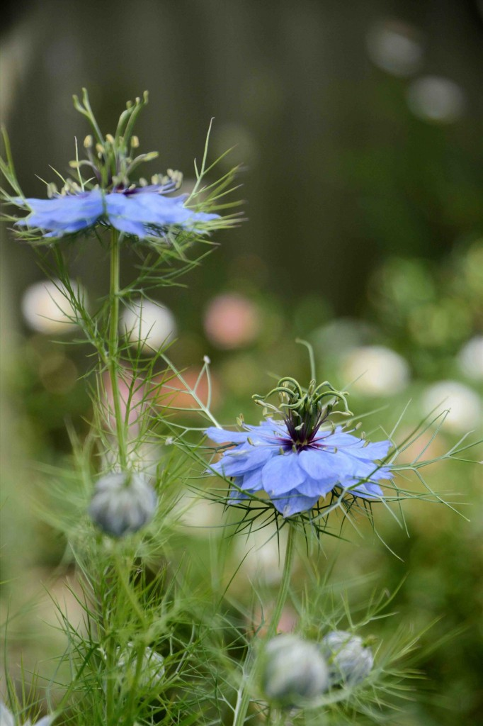 Love-In-A-Mist, Alice's Cottages, Launceston, Tasmania