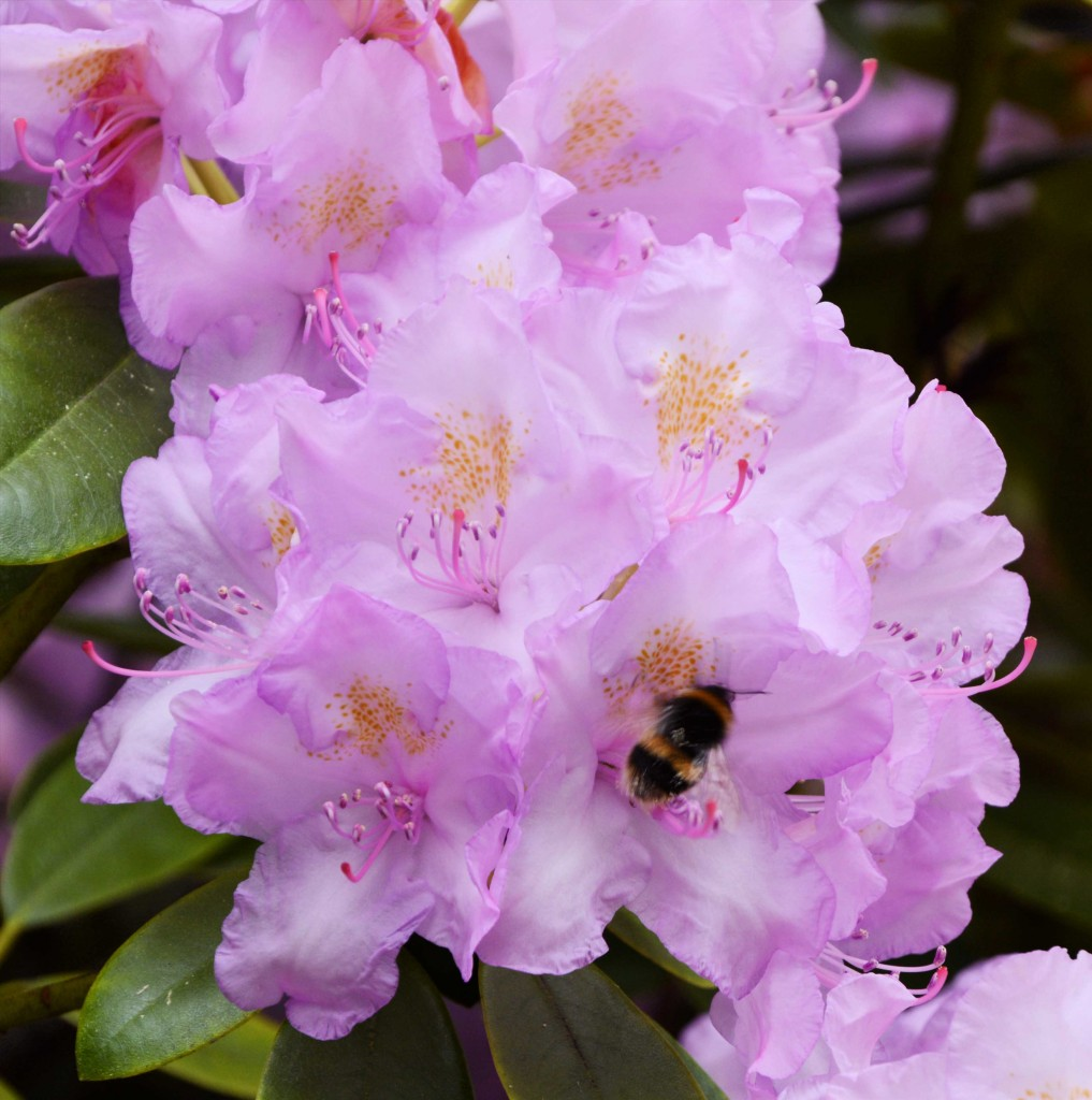 Heavenly Pink Rhododendron