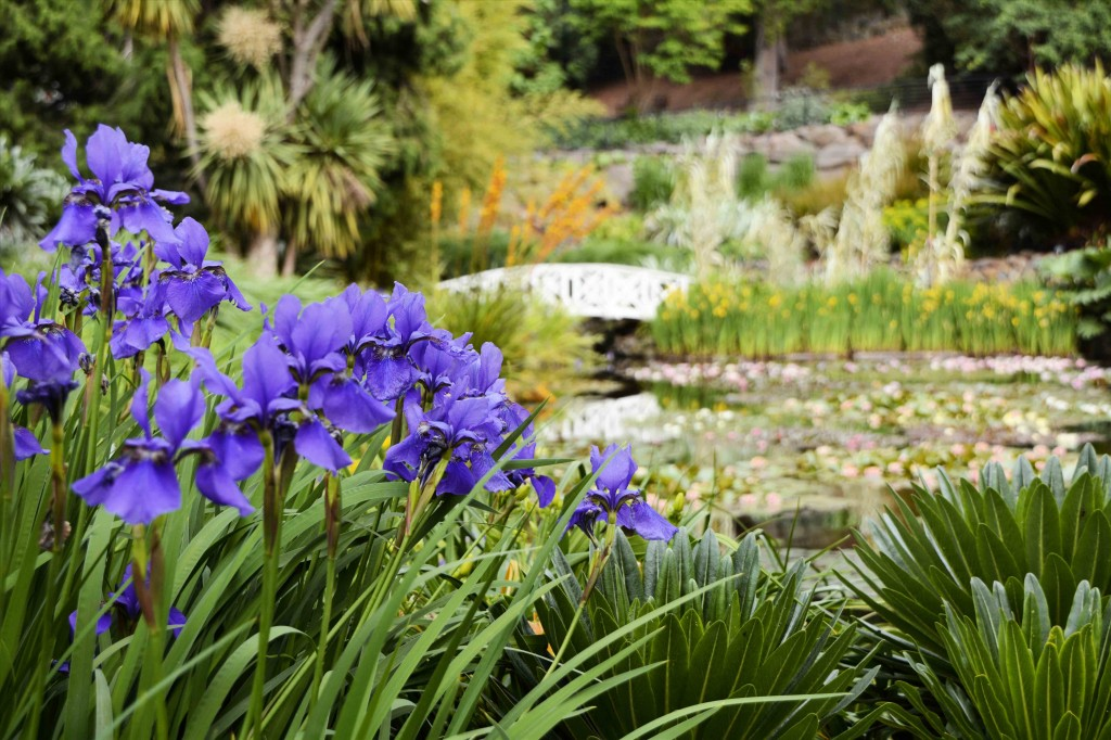Irises and Lily Pond in Hobarts Botanical Garden