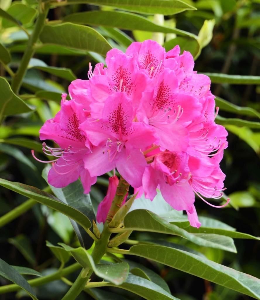 Gorgeous Dark Pink Rhododendron