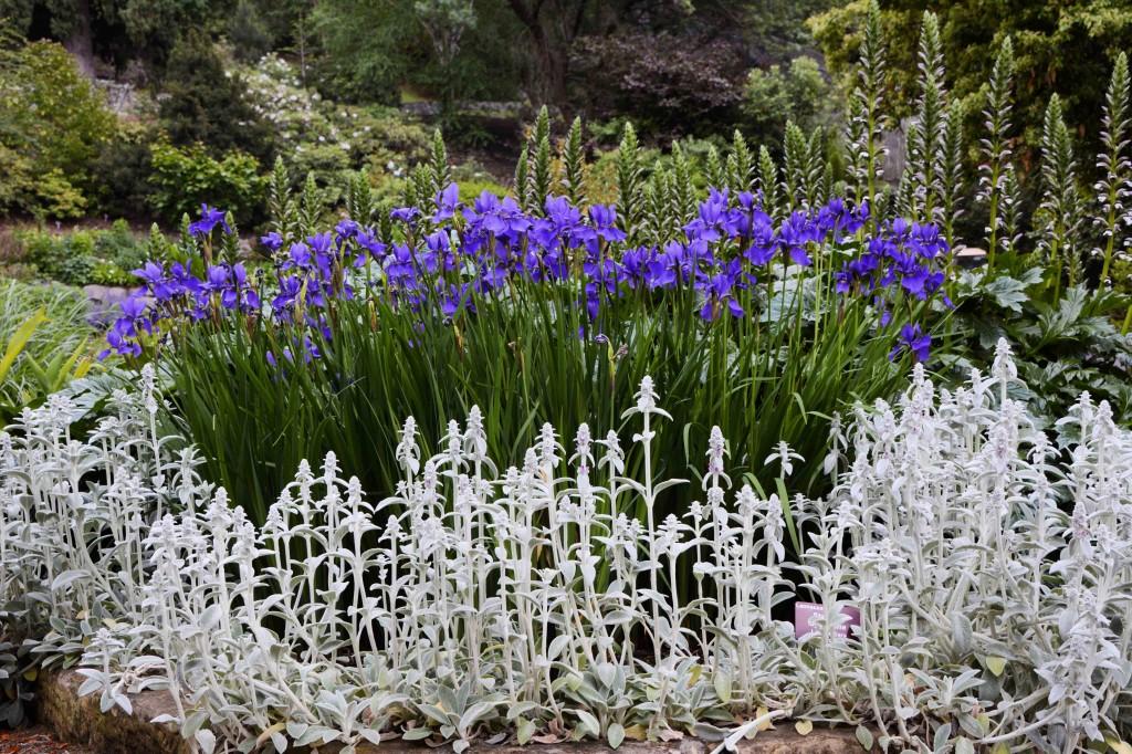 More Irises in Hobarts Botanical Garden