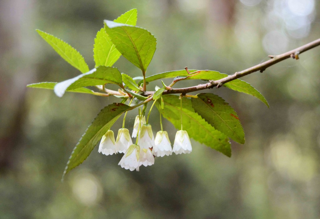 White Bells on a Tree
