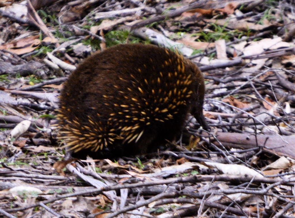 Echidna, Tasmania, Australia