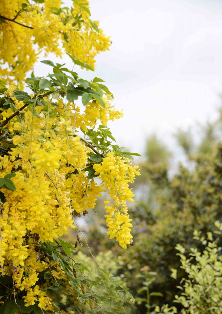 Laburnum - First Sighting in 42 Years