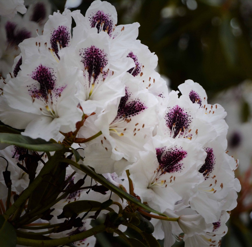 Rhododendron, Hastings Caves, Tasmania
