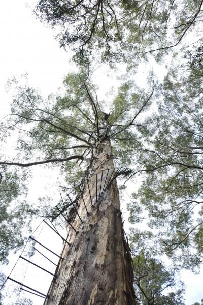 Looking to the Top, Diamond Tree, Pemberton