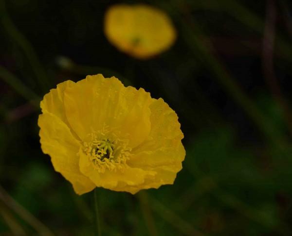 Yellow Poppy, Manjimup