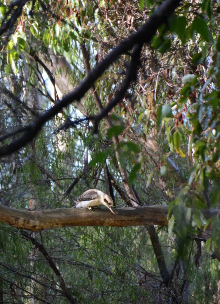 Kookaburra Seeking Breakfast