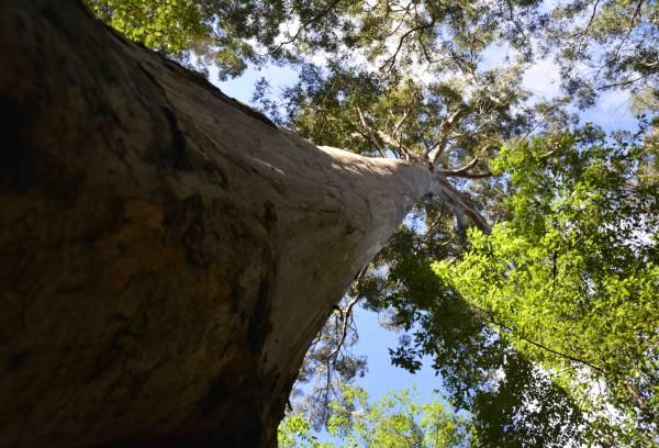 Beedelup Falls 'Walk-through Tree'