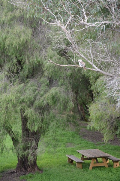 Kookaburra at Warren Bridge