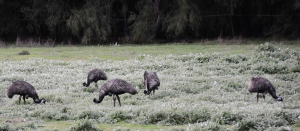 Emus at Karri Valley Resort