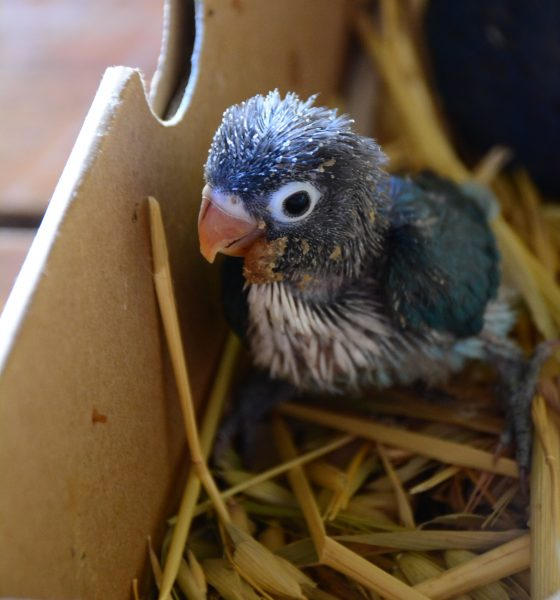 Baby Love Bird