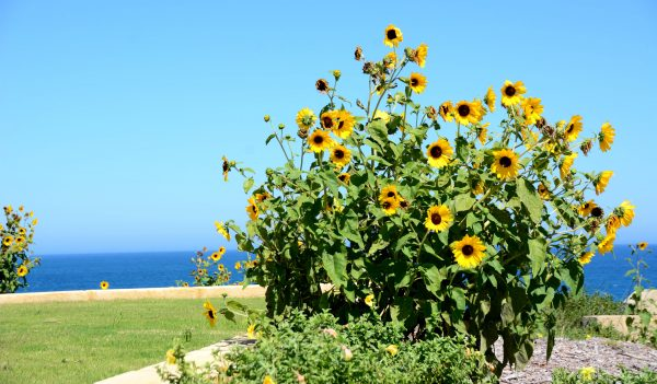 Lovely Sunflowers at Seabird