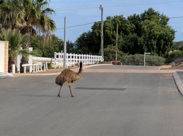 Emu in Main Street Denham
