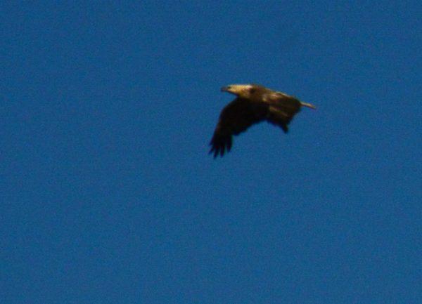 Huge Eagle